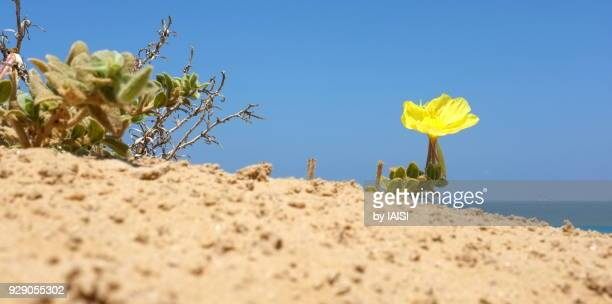 a lone beach evening-primrose on the sand dune, at the eastern mediterranean - sharon plain stock pictures, royalty-free photos & images