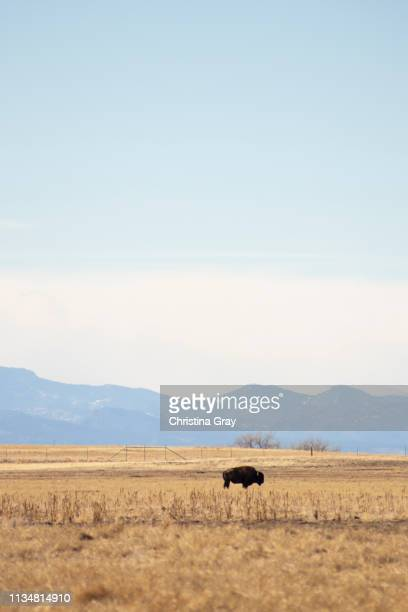 lone bison - commerce city colorado stock pictures, royalty-free photos & images