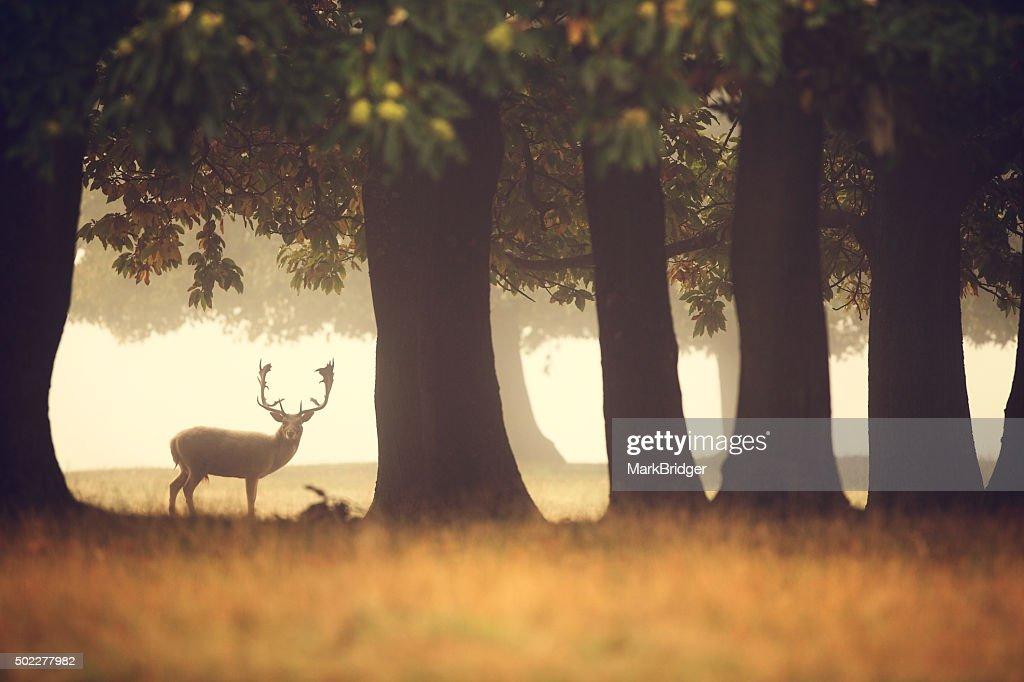 Lone buck : Stock Photo