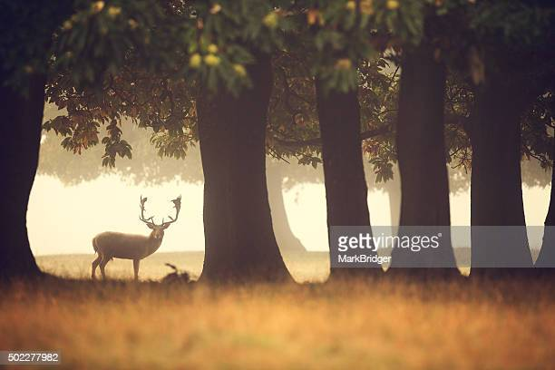 lone buck - buck stock photos and pictures