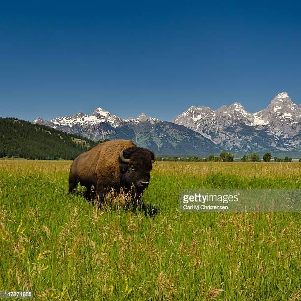 Lone Buffalo at Grand Teton mountains