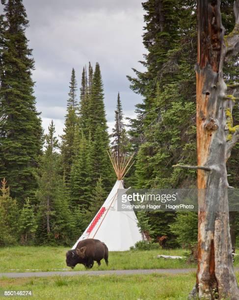 Lone buffalo by teepee