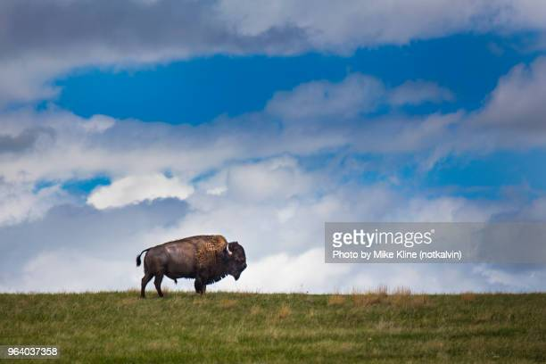 lone bull buffalo - bull animal stock photos and pictures
