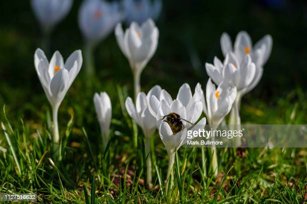 A lone Bumblebee making the most of the early warm weather on a white crocuses in bloom on the banks of the River Wensum in the centre of Norwich in...