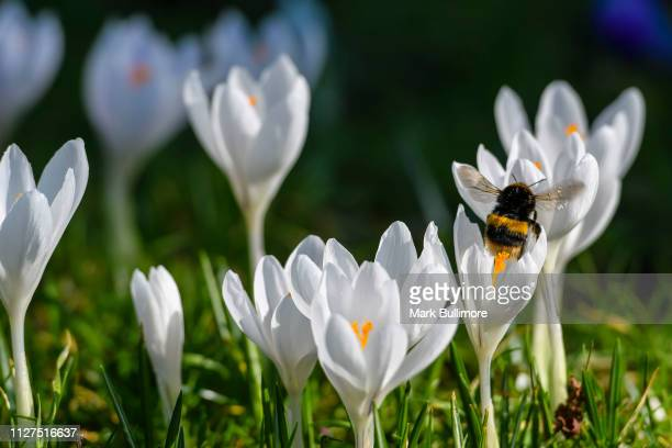 Lone Bumblebee making the most of the early warm weather on a white crocuses in bloom on the banks of the River Wensum in the centre of Norwich in...