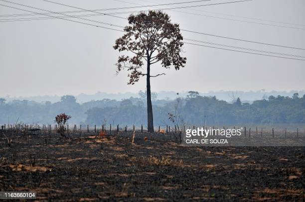 Lone burnt tree stands on a deforested area in the surroundings of Porto Velho, Rondonia State, in the Amazon basin in west-central Brazil, on August...