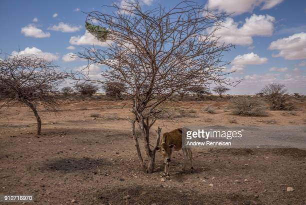 A lone calf stands tied to a tree outside the village of Beer Somalia Drought conditions have led to a scarcity of clean water in the region
