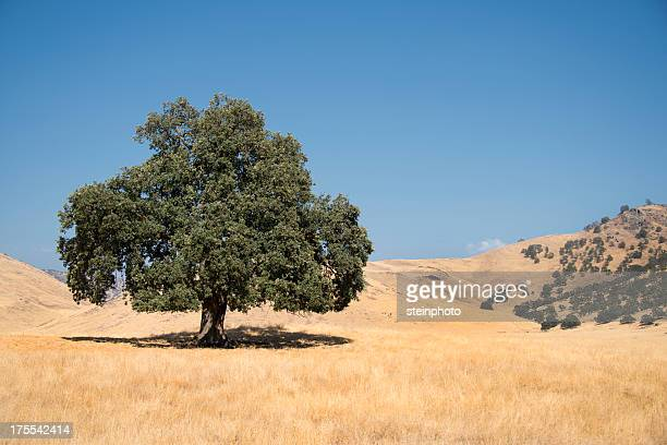 lone california live oak - live oak tree stock pictures, royalty-free photos & images