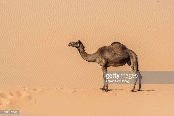 lone camel - camel stock pictures, royalty-free photos & images