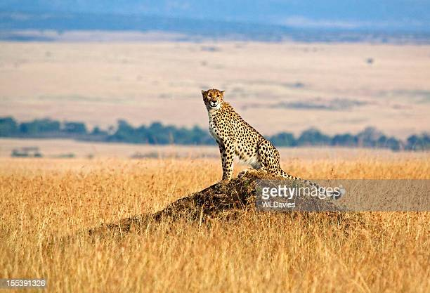 A lone cheetah, perched on a rock in the savannah