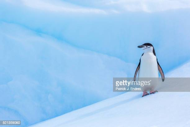 lone chinstrap penguin on iceberg - chinstrap penguin stock pictures, royalty-free photos & images