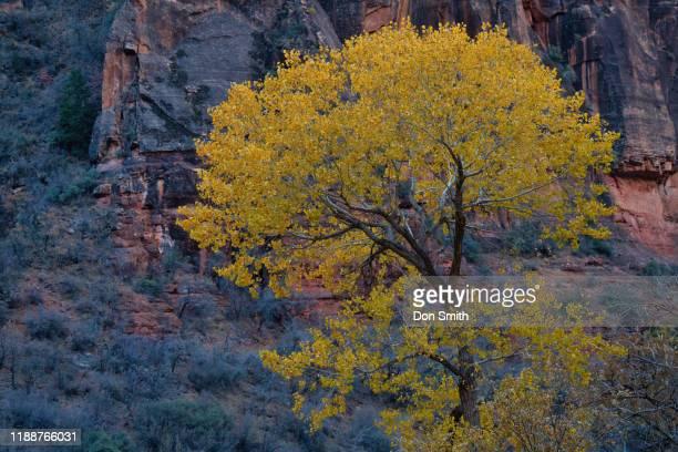 lone cottonwood, zion national park - don smith stockfoto's en -beelden