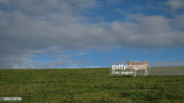 lone cow in grassy field - biffkor bildbanksfoton och bilder