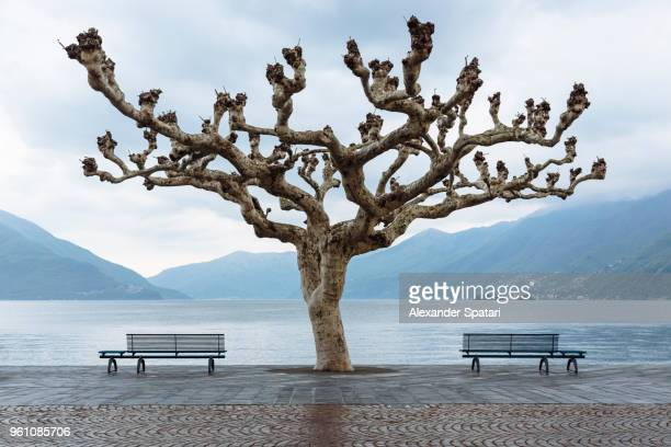 lone curved sycamore tree near lake maggiore, ascona - sycamore tree stock photos and pictures