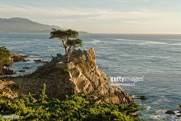 lone cypress pine tree at pebble beach - lone pine california stock pictures, royalty-free photos & images