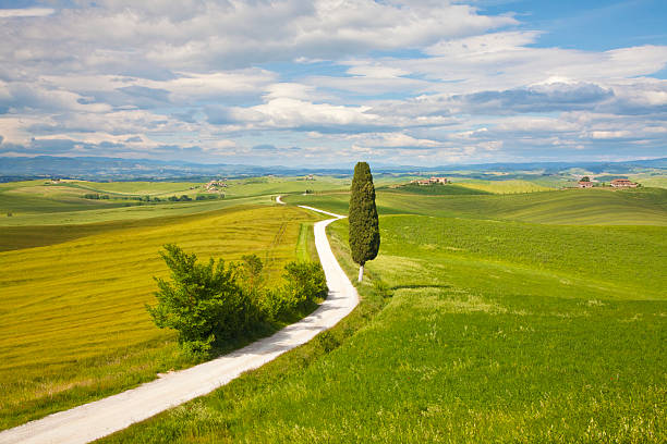 Lone Cypress Tree (cupressus sempervirens) by a small road through Wheat fields near Ville di Corsan