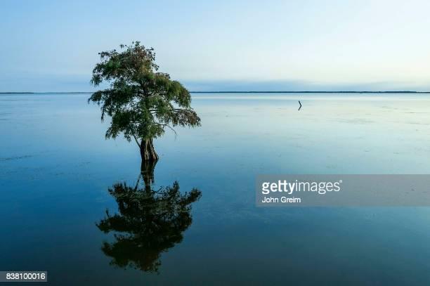 Lone cypress tree in brackish water Taxodium distichum