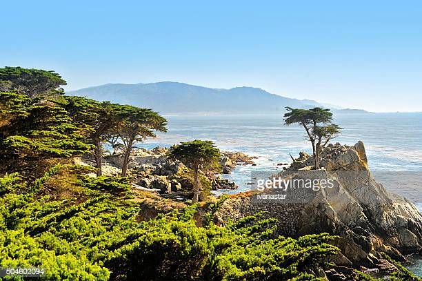 lone cypress tree - monterrey stock pictures, royalty-free photos & images