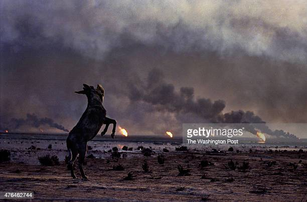 A lone donkey pulls bedding from an Iraqi trench and playfully throws it in the air as it is surrounded by a hellish scene of oil fires out of...
