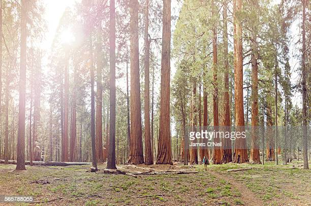 Lone female hiker in giant sequoia forest