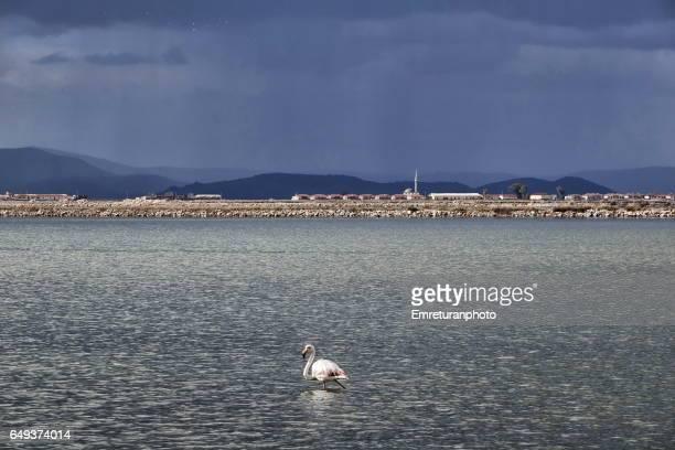 a lone flamingo in the bird reserve. - emreturanphoto stockfoto's en -beelden