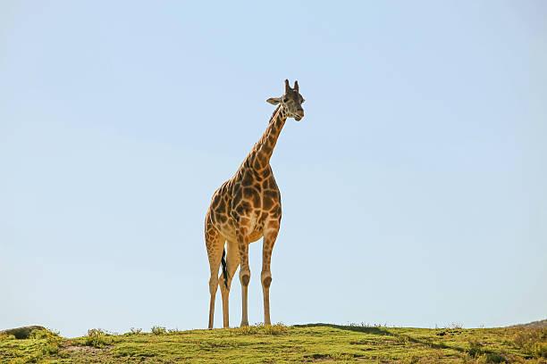 Lone Giraffe Wall Art