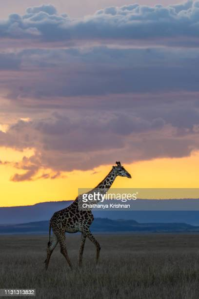 a lone giraffe walking in the plains of africa during a sunset with an orange hue in the background - kruger national park stock pictures, royalty-free photos & images