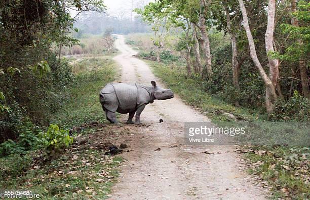 Lone Great Indian rhino