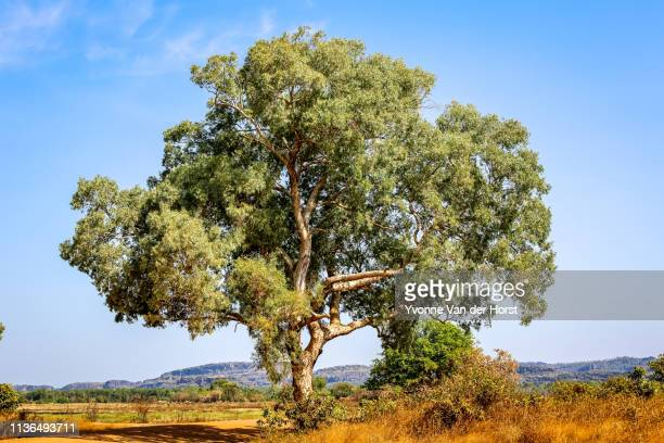 a lone gum tree in arid country in the northern territory - eucalyptus tree stock pictures, royalty-free photos & images