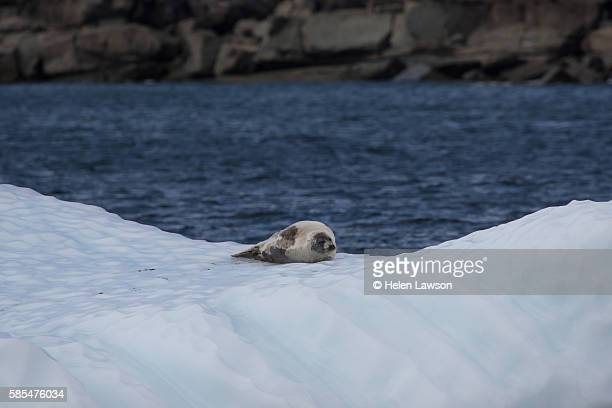 Lone harp seal on iceberg in St Anthony harbour, Newfoundland
