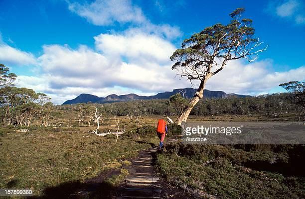 Lone hiker on the Pelion Plains Overland Track Cradle MountainLake St Clair National Park Tasmania Australia