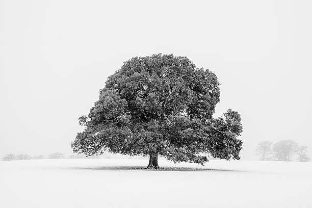 Lone holm oak tree in snow, Somerset, UK