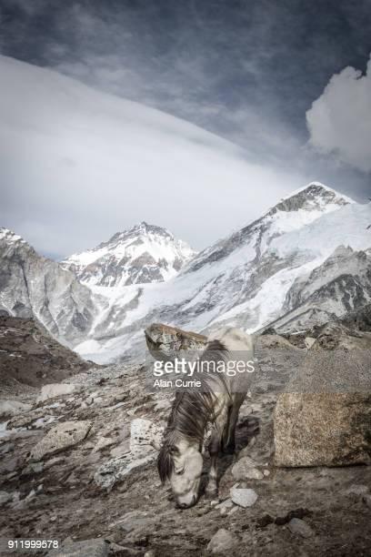 Lone horse grazing in barren landscape at Mount Everest Base camp