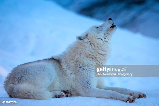 lone howler - arctic wolf stock photos and pictures