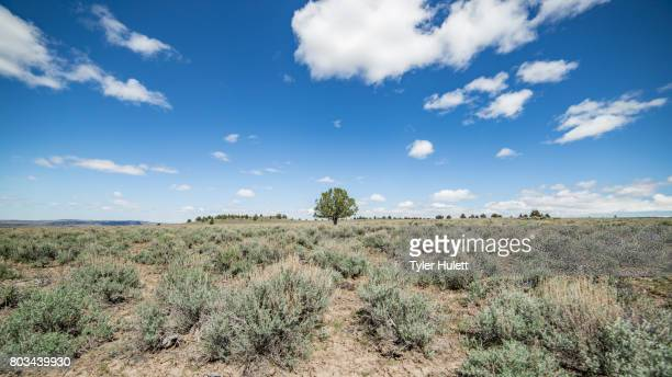lone juniper tree under blue skies in the distance - western juniper tree stock pictures, royalty-free photos & images