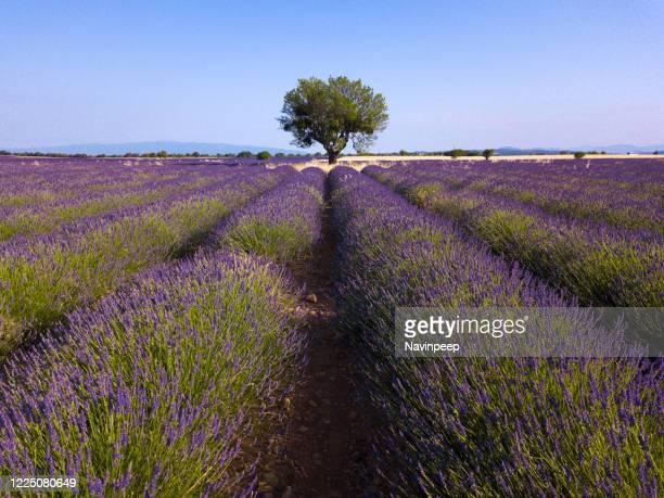 lone large tree in lavender field, provence, france - アルプドオートプロバンス県 ストックフォトと画像