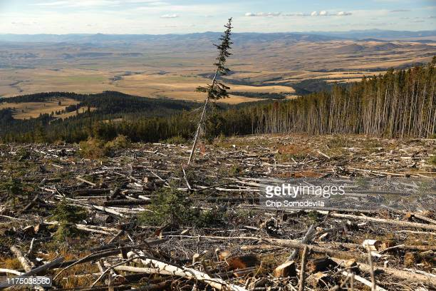A lone lodgepole pine stands in an area logged after an infestation of the mountain pine beetle killed most of the trees in the stand in...