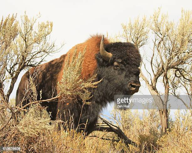 Lone male American bison, American buffalo, Plains bison, (Bison bison) in Lamar Valley of Yellowstone