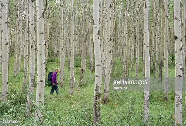 Lone Man Hiking Through a Forest of Birch Trees