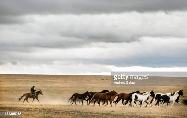 lone man on horse galloping across vast empty golden meadow herding a herd go horses. - eden pastora fotografías e imágenes de stock