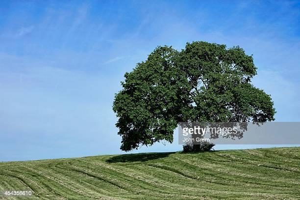 Lone mature tree on rural farm hill