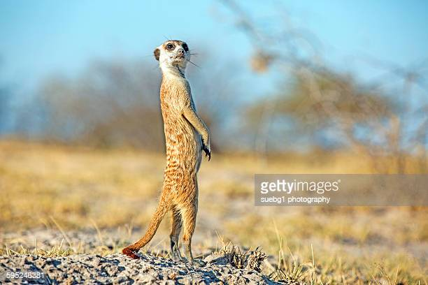 Lone meerkat on the Kalahari