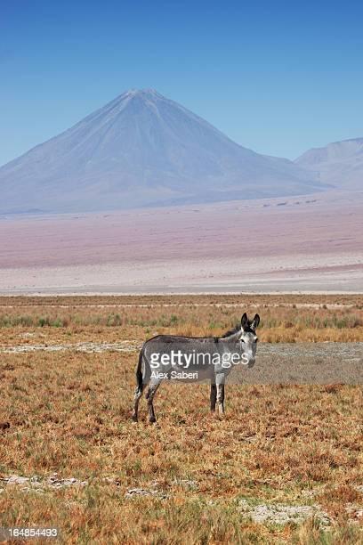 a lone mule in the atacama desert with a volcano in the background. - alex saberi stockfoto's en -beelden