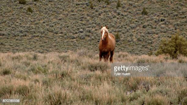lone mustang at dawn grazing 1 south steens hma wild horses steens mountain near malhuer wildlife refuge 10 - steens mountain stock pictures, royalty-free photos & images