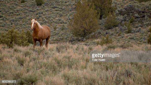 lone mustang at dawn grazing 3 south steens hma wild horses steens mountain near malhuer wildlife refuge 12 - steens mountain stock pictures, royalty-free photos & images