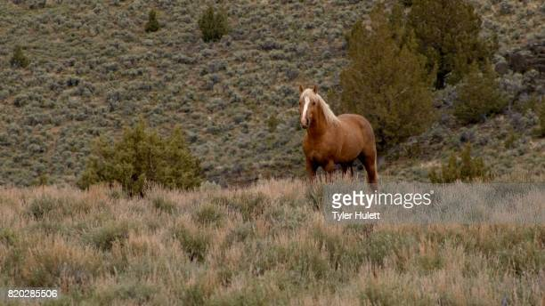 lone mustang at dawn grazing 3 south steens hma wild horses steens mountain near malhuer wildlife refuge 14 - steens mountain stock pictures, royalty-free photos & images