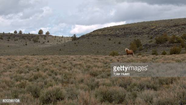 lone mustang at dawn grazing wide 3 south steens hma wild horses steens mountain near malhuer wildlife refuge 13 - steens mountain stock pictures, royalty-free photos & images
