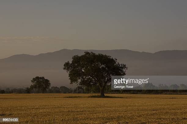 A lone oak in a horse pasture is seen in this 2009 Santa Ynez Valley Santa Barbara County California early morning landscape photo