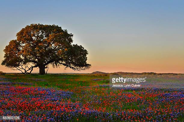 lone oak tree in a field of texas wildflowers - texas bluebonnet stock pictures, royalty-free photos & images