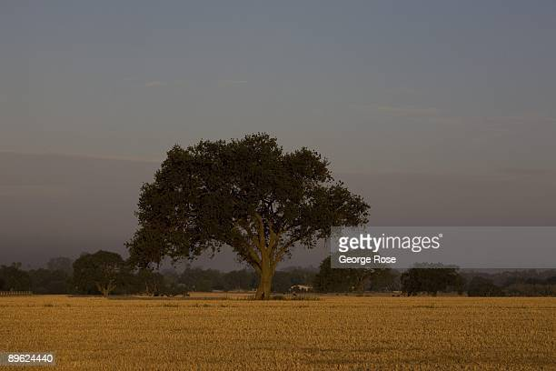 A lone oak tree in a horse pasture is seen in this 2009 Santa Ynez Valley Santa Barbara County California early morning landscape photo